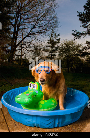 A golden retriever in a pool with a swim mask and a floating toy at sunset - Stock Photo