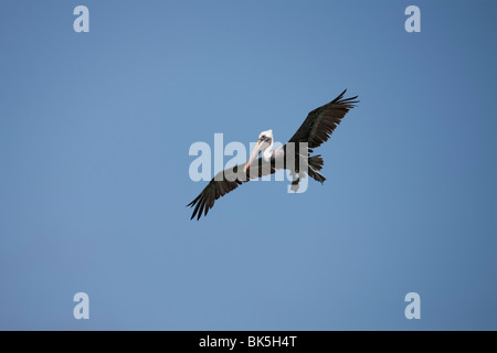 Brown Pelican (Pelecanus occidentalis occidentalis), adult in winter plumage landing, Bonaire Netherlands Antilles. - Stock Photo