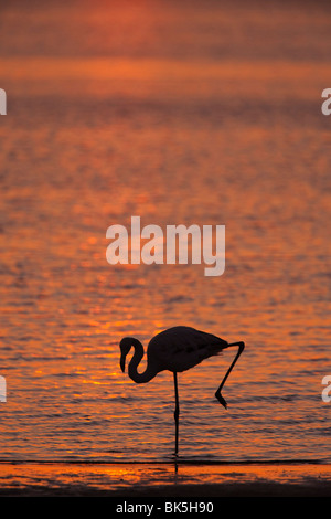 Greater flamingo (Phoenicopterus ruber), at dusk, Walvis Bay lagoon, Namibia, Africa - Stock Photo