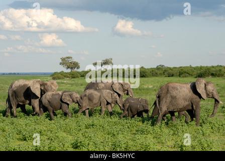 Group of elephants after mud bath, Chobe National Park, Botswana, Africa - Stock Photo