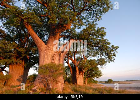 Baines baobabs, Nxai Pan, Botswana, Africa - Stock Photo