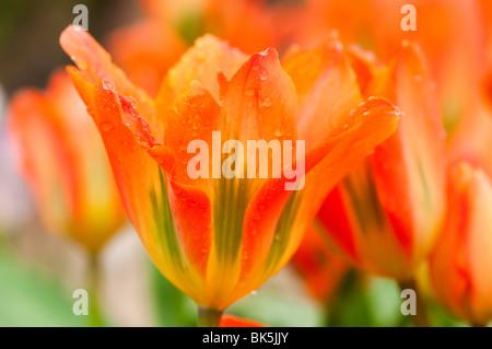 Tulip 'Orange Emperor' at The Eden Project in Cornwall - Stock Photo