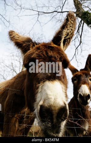 Stock photo of two donkeys in a field. - Stock Photo