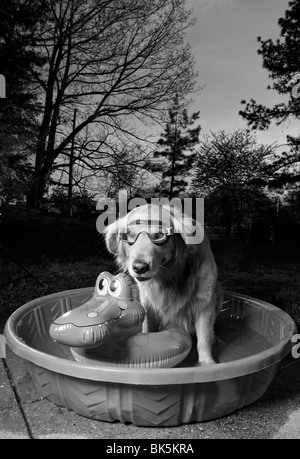 A black and white picture of a golden retriever in a pool with a swim mask and a floating toy at sunset. (Canis - Stock Photo