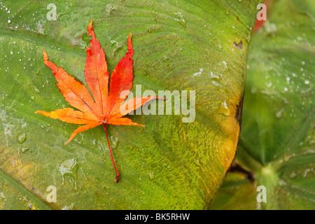 Japanese Maple Leaf - Stock Photo