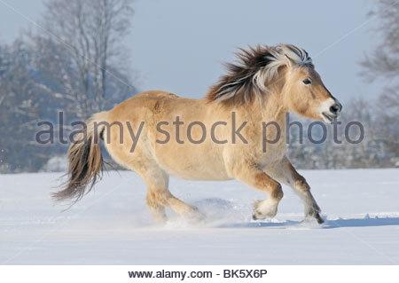Norwegian horse in winter - Stock Photo