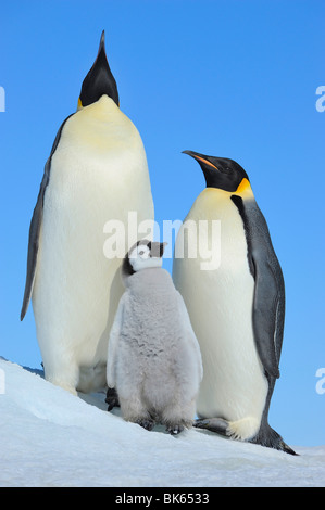 Emperor penguin (Aptenodytes forsteri), parents with their chick, Antarctica, Snow Hill Island - Stock Photo