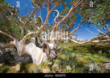 Snow Gum trees in the Snowy Mountains, Australia. - Stock Photo