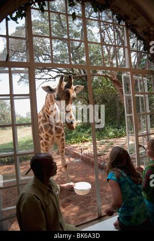 Rothschild Giraffe In Zoo, Nairobi, Kenya, Africa - Stock Photo