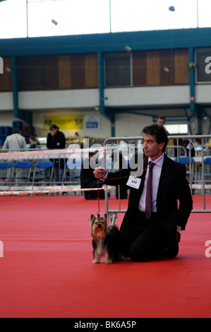 Stock photo of Yorkshire terriers at a dog show. - Stock Photo