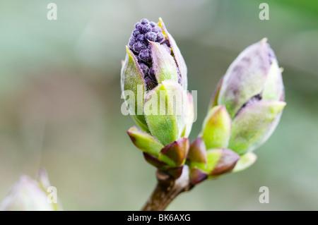 Purple Lilac (syringa) buds - Stock Photo