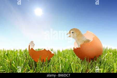 A view of a baby chicken on a green grass - Stock Photo