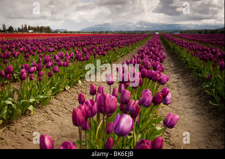 April is tulip time in the Skagit Valley, near Mt. Vernon, Washington.This was taken at RoozenGaarde gardens during - Stock Photo