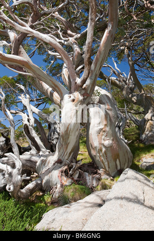 Snow Gum trees in the Snowy Mountains, Australia. These hardy Eucalyptus trees grow very slowly around 5000 feet - Stock Photo
