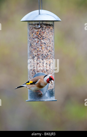 Goldfinch on a bird seed feeder - Stock Photo