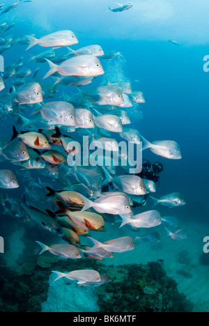 School of snappers and scubadiver, South Africa - Stock Photo