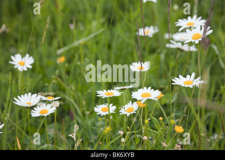 Europe. Ox-eye Daisies (Leucanthemum vulgare) growing with buttercups in a wildflower meadow - Stock Photo
