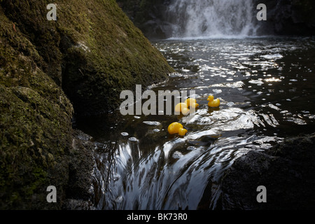 yellow plastic toy ducks on a fast flowing river going over rocks in the uk - Stock Photo