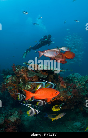 Underwater camera man filming a school of bigeye snappers and banner fish. - Stock Photo