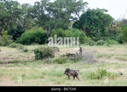 Male baboon in the African bush - Stock Photo