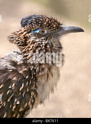 Greater Roadrunner (geococcyx californianus) - Stock Photo