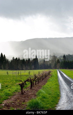 Sun breaking through the fog after heavy rain in a vineyard - Stock Photo