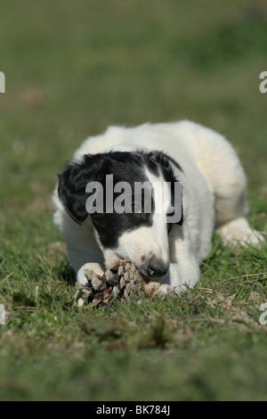 Borzoi Puppy - Stock Photo