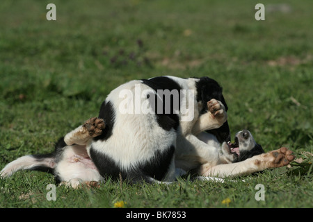 Borzoi Puppies - Stock Photo