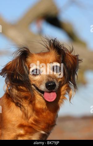 Dackel-Chihuahua-Mix