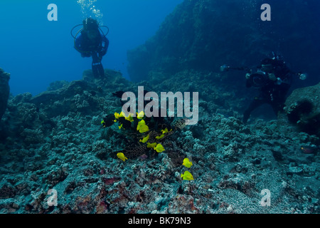 Diver observes as Green sea turtle, Chelonia mydas, gets cleaned by reef fish, Kona, Hawaii - Stock Photo