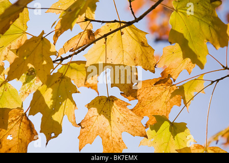 Light through maple leaves - Stock Photo