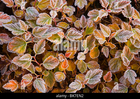 Frost on leaves of plant - Stock Photo