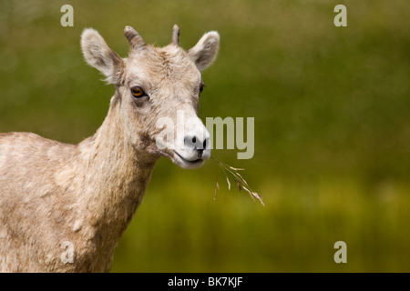 Young rocky mountain bighorn sheep chewing a sprig of grass - Stock Photo