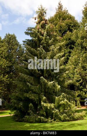 The Brewers Weeping Spruce [Picea breweriana] at the Dundee Botanic Gardens,UK - Stock Photo