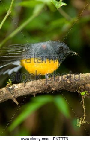 Slate-throated Redstart, Monteverde Biological Reserve, Costa Rica - Stock Photo