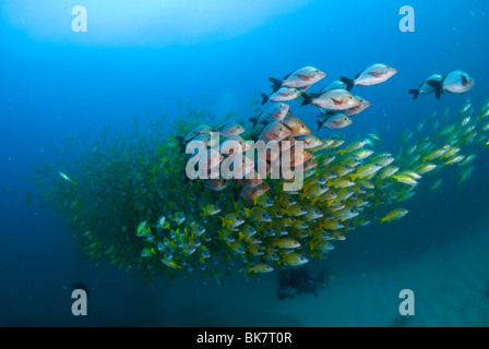 School of french grunts and snappers, South Africa - Stock Photo