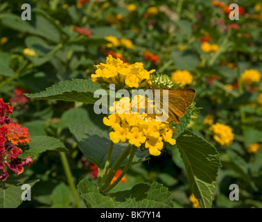 Large skipper butterfly on lantana flowers in Tuscany Italy - Stock Photo