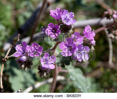 Scorpionweed wild heliotrope Phacelia Arizona - Stock Photo