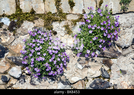 Clumps of flowering aubretia growing on stone wall - Stock Photo