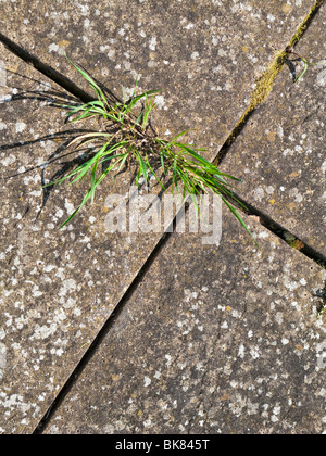 Common weeds growing in the cracks between paving slabs - Stock Photo