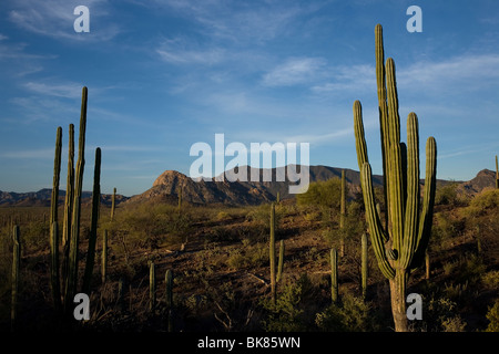 Cactus fill the desert between the towns of Loreto and Mulege in Mexico's southern Baja California state, February - Stock Photo