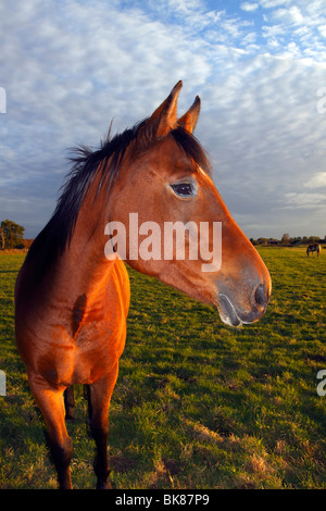 Brown Horse (Equus przewalskii f. caballus) on a paddock in evening light, portrait - Stock Photo