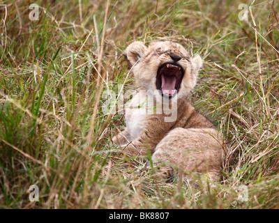 Yawning lion (Panthera leo), cub - Stock Photo
