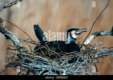 Great Cormorant (Phalacrocorax carbo) in its nest - Stock Photo