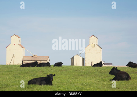 Moseleigh, Alberta, Canada; Cattle In A Field With Grain Elevators - Stock Photo