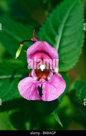 Himalayan Balsam (Impatiens glandulifera), blossom, front view, seed vessel fruit