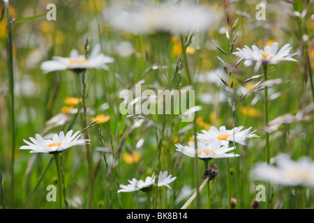 Europe. Ox-eye Daisies (Leucanthemum vulgare) growing with wild grasses in a wildflower meadow - Stock Photo