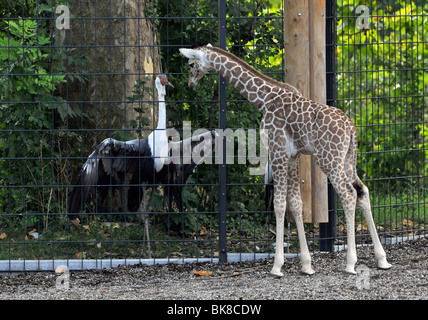 Somali Giraffe or Reticulated Giraffe (Giraffa camelopardalis reticulata), young, 2 weeks old, meeting at a fence - Stock Photo