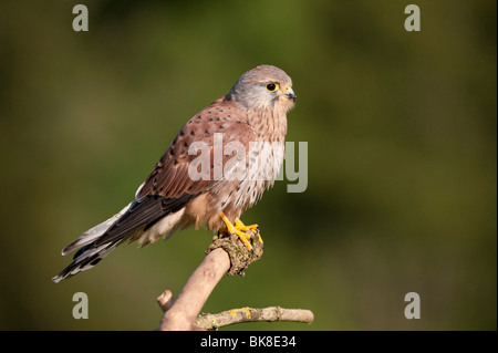 Common Kestrel (Falco tinnunculus), young male on a branch, Vulkan Eifel, Rhineland-Palatinate, Germany, Europe - Stock Photo