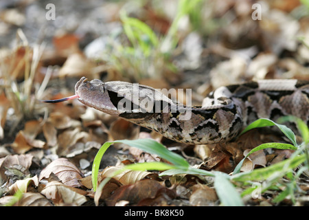 Gaboon Viper, South Africa, camouflaged - Stock Photo